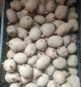 Картофель семенной (ред скарлетт, голландка)