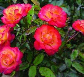 """Роза спрей """"Самба"""""""