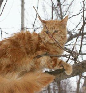 Лучшие в мире кошки мейн куны