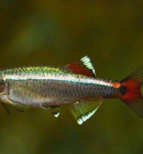 Рыбки кардиналы 3 шт