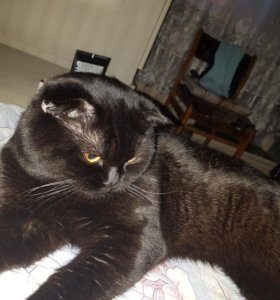 Вязка. шотландский кот ищет симпатичную кошку)