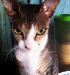 Милый котик породы сфинкс-питерболд ищет невесту