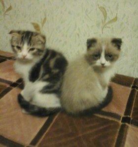 Коты трёх цветные шотланские два кота и девочки дв