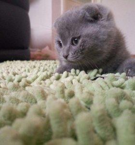 Продам котят( мальчик и девочка) Скотиш-фолд