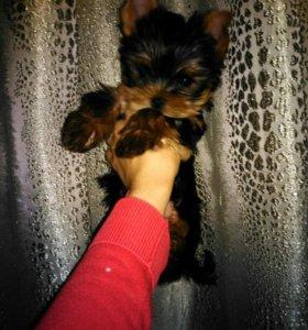 Очень красивые щенки йоркширского терьера