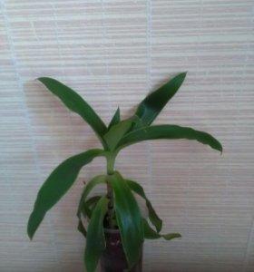 Золотой ус (лечебное растение)
