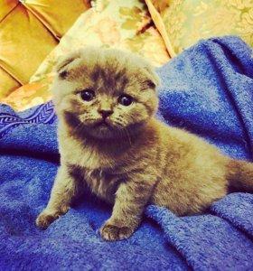 Котята породы Шотландская Вислоухая.
