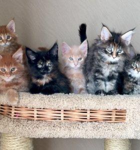 В разведение выставочные котята мейн кун