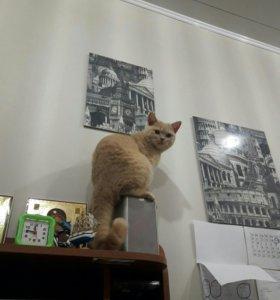 Кот британец ждет свою любовь