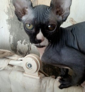 Котеночек Сфинкс