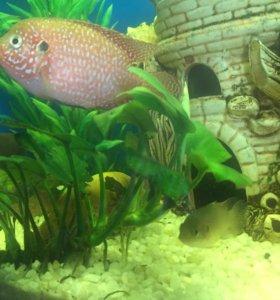 Аквариумные рыбки. Цихлиды:хромис- красавец