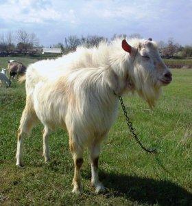 Породистый племенной козёл