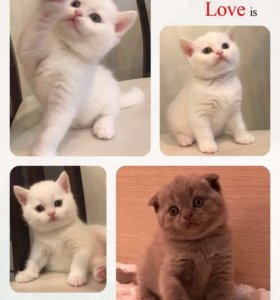 Продаются шотландские клубные котята.
