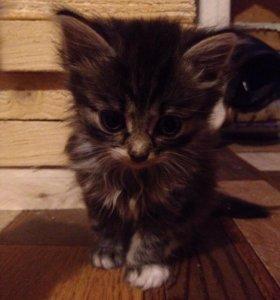 Отдам котят в добрые руки , 2 котёнка , 1 кошечка