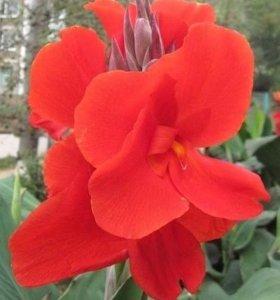 цветы канны пророщенные в стаканах