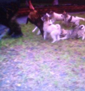 Продаются щенки лайки западно сибирской породы