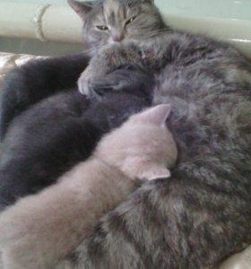 Продаю шотландских котят остроухие