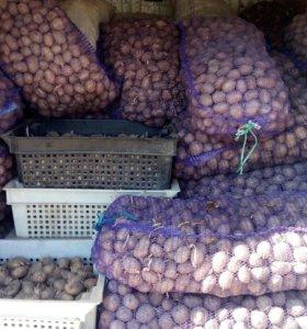 Картофель семеной