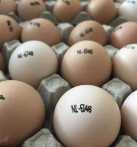 Инкубационное Яйцо бройлера Кобб 500 и других птиц