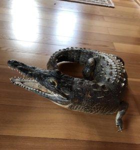 Чучело крокодила 50 см