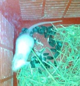 Декоротивный белый мышонок