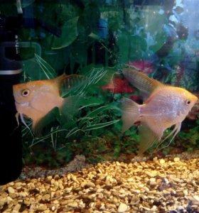 Рыбки скалярия