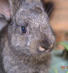 Кролики (черно-бурые, серебристые, шиншила)