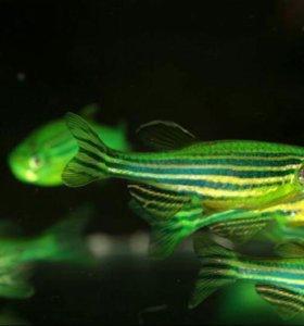 Аквариумные рыбки собственного разведения