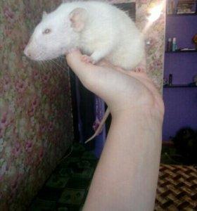 Крыса лабороторная