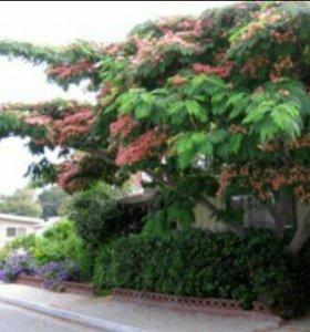 Альбиция(шелковое деревце)