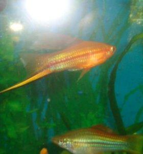Рыбы, Меченосцы