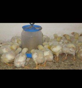 Цыплята бройлеры, куры