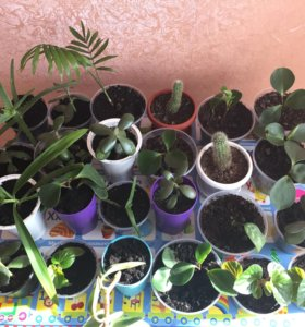 Денежное дерево,кактус,агланеома,хамедорея