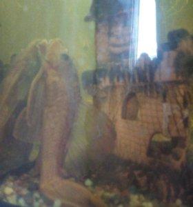 Сом аквариумный черный пятнистый