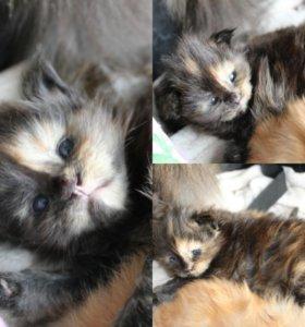 Мейнкун котята