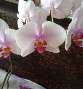 Орхидея фаленопсис цветущая.