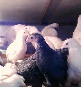 Цыплята кур-несушек от 1недели-9недель