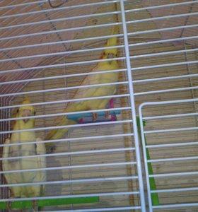 Попугаи карелла