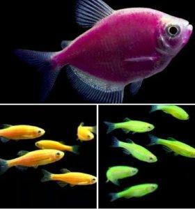 Генномодифицированные рыбки