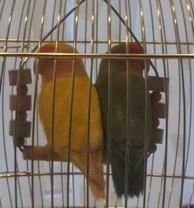 Папугайчики неразлучники