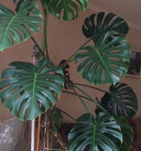 Манстера,комнатное растение