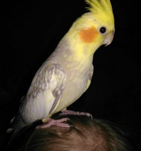 Ручной попугай корелла