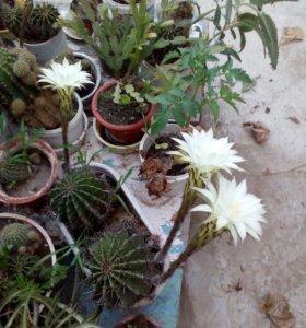 Продаются кактусы
