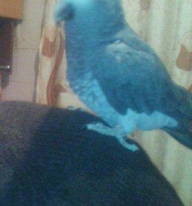 Африканский серый попугай Жако. торг