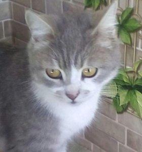 Кошка породистая Британец
