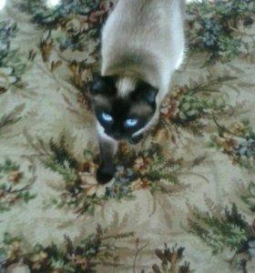 Котята сиамской кошки