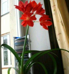 Продам цветок Гиппеаструм