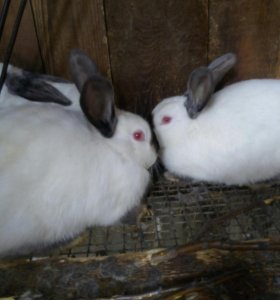 Кролики калифарнийцы