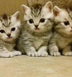 Продаю британских котят.