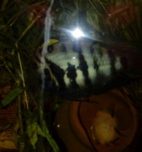 Рыбки цихлазомы полосатые
